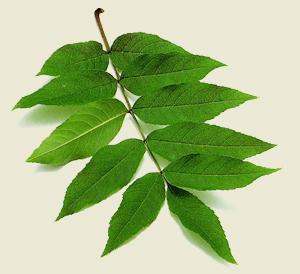Flora de malpica de tajo el fresno fraxinus excelsior l for Arboles frutales de hoja caduca